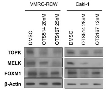 Downregulation of FOXM1 by OTS514 and OTS167 treatment.
