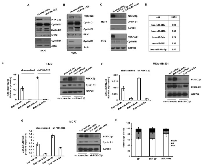 PI3K-C2β regulates cyclin B1 expression through modulation of miR-449a.