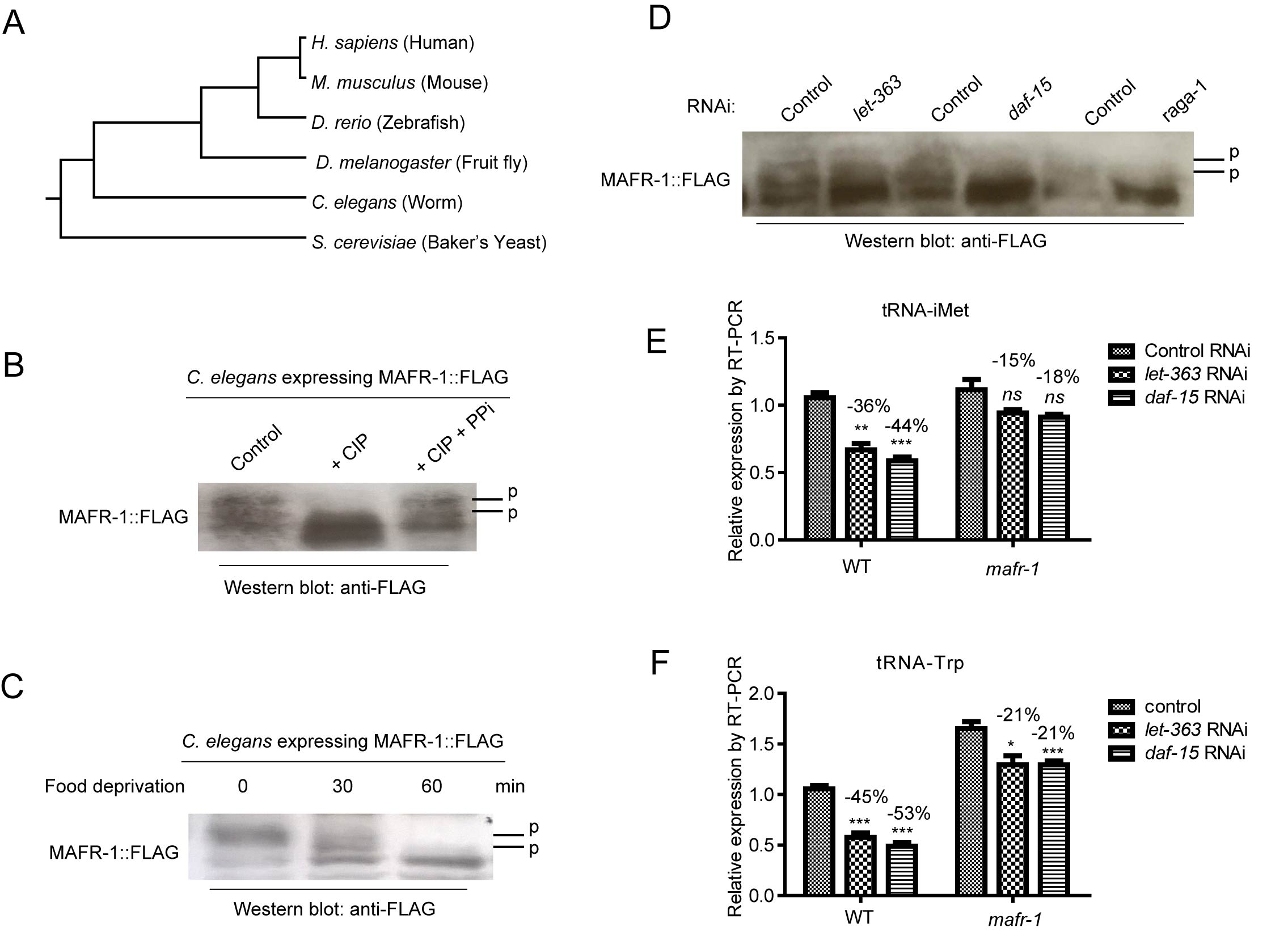 MAFR-1 is conserved and regulated similarly by mTOR pathway.