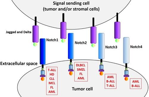 Notch receptors in hematological malignancies.