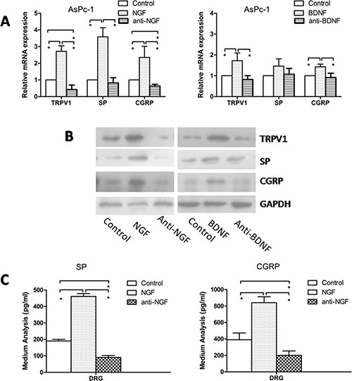 Effect of anti-NGF and anti-BDNF on expression of TRPV1, SP, and CGRP in DRG in co-culture system.