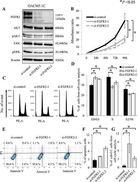 FGFR2 knockdown induces de-phosphorylation of AKT and ERK, and suppresses cell proliferation, through anti-apoptosis and cell cycle arrest in the FGFR2-expressing cell line OACM5.1C.