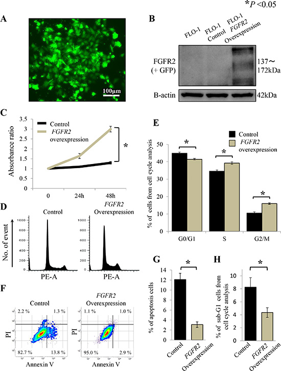 FGFR2 overexpression promotes cell proliferation through cell cycle progression and anti-apoptosis in FLO-1 cells stably transfected with FGFR2.