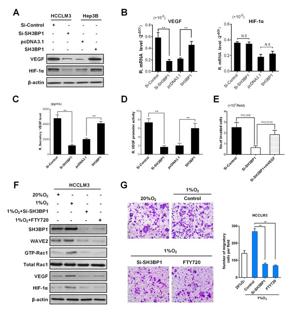 SH3BP1 induces VEGF secretion, activation of VEGF promoter and increase HIF-1α expression enhanced HCC aggressiveness.