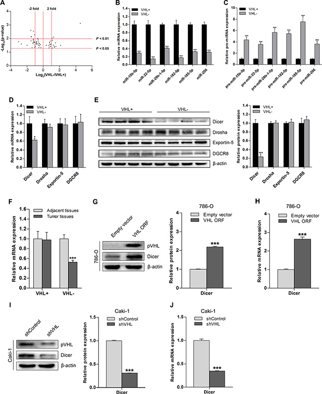 Downregulation of Dicer and its global effect on miRNA in ccRCC is VHL-dependent.