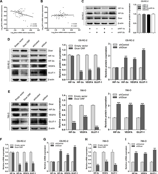 Dicer downregulates HIF-2α expression in VHL-deficient ccRCCs.