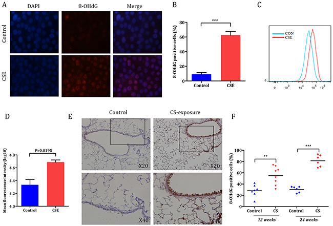 Cigarette smoke-induced oxidative DNA damage response in bronchial epithelial cells.