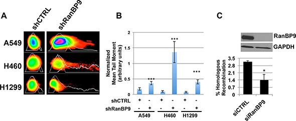 RanBP9 silencing affects DNA-damage repair mechanisms.