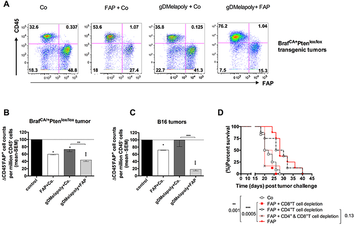 Immunization with AdC68-mFAP reduces numbers of FAP+ cells within both transgenic BrafCA/+Ptenlox/lox and transplantable B16 tumors in a CD8+T cell dependent manner.