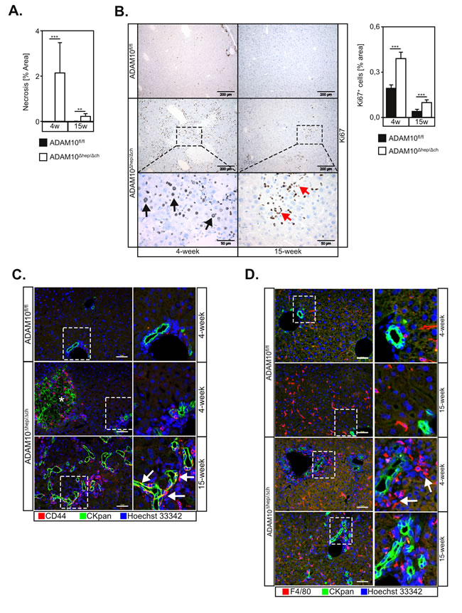 Loss of ADAM10 induces liver progenitor cell-mediated regeneration in ADAM10