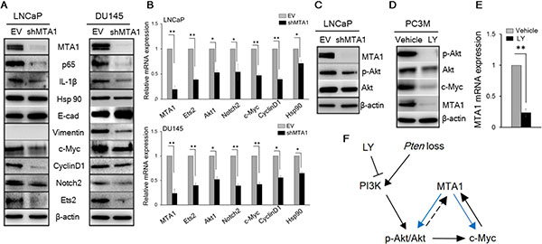 MTA1 directly regulates key molecular drivers of tumor promotion.