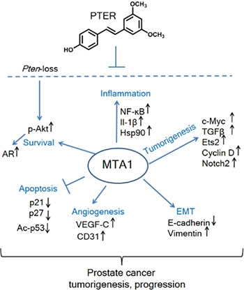 Schematic representation of MTA1-targeted effects of pterostilbene in prostate cancer.