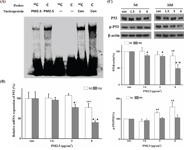 PM2.5 downregulated P53 expression by promoter hypermethylation.