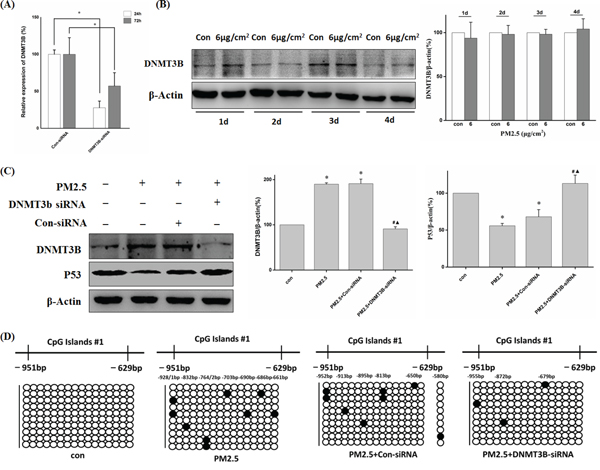 DNMT3B-siRNA reversed decreased P53 expression through down-regulation of PM2.5-induced P53 promoter hypermethylation.