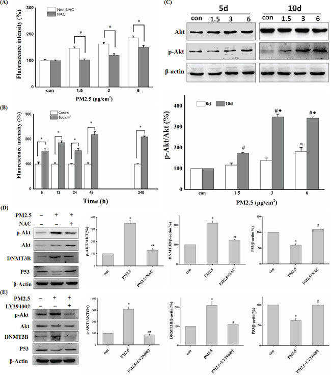 ROS and Akt participated in PM2.5-induced downregulation of P53 expression.