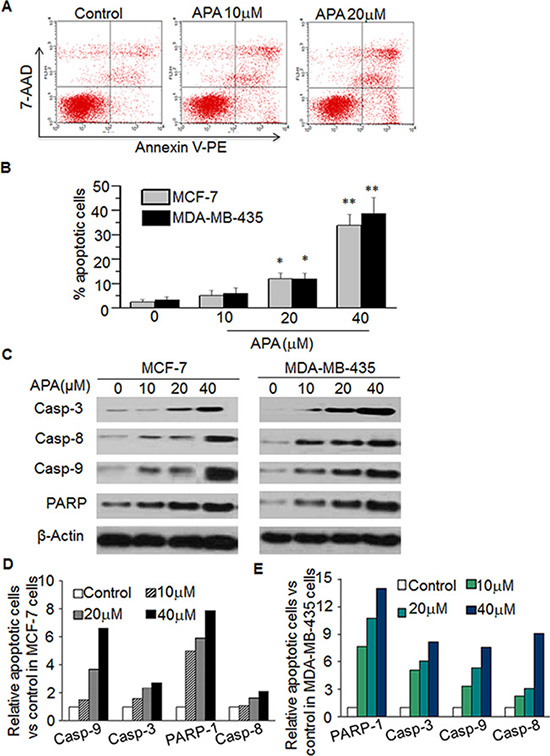 APA induced apoptosis by increasing expression of Casp-3,-8,-9 and PARPin MCF-7 and MDA-MB-435 cells.