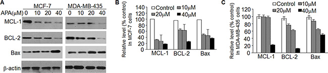 APA suppressed the expression of anti-apoptotic modulators.