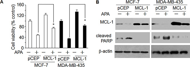 Over-expression of MCL-1blocked the effect of APAon decreasedcleaved PARP and increased cell death.