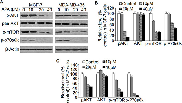 Effect of APA on suppression of the AKT/mTOR pathway