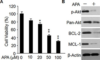 Effect of APA on cell proliferation, p-AKT level, and expression of BCL-2 and MCL-1in primary breast cancer cells.