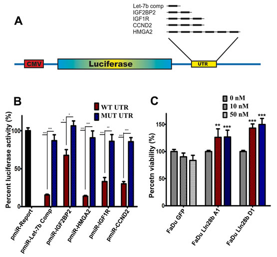 Activation of the IGF pathway in FaDu~Lin28b cells through a Let-7 dependent mechanism.