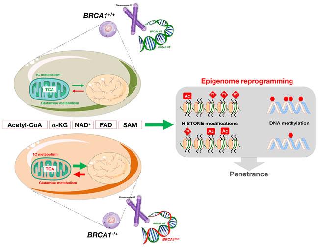 Metabolic regulation of epigenetics: The reprogramming dimension of
