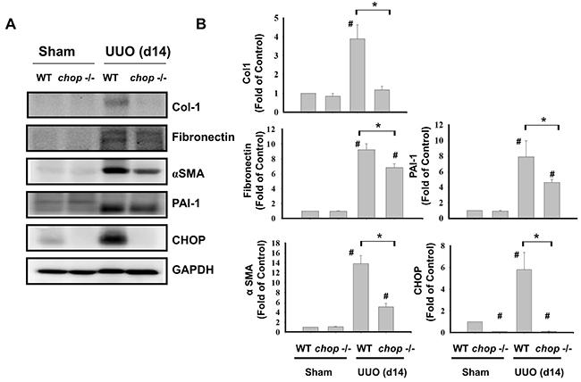 Oncotarget   C/EBP homologous protein (CHOP) deficiency