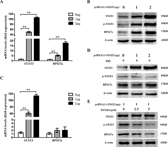 Upregulation of RPS27a by p-STAT3 in HEK293T cells.