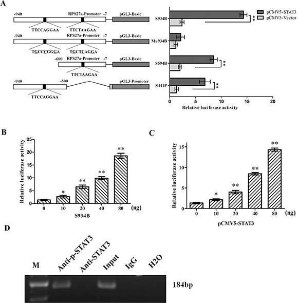 Effects of p-STAT3 on the transcriptional activity of RPS27a promoter.