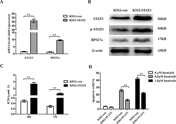 Validation of STAT3 overexpression and its effect on apoptosis in K562 cells.