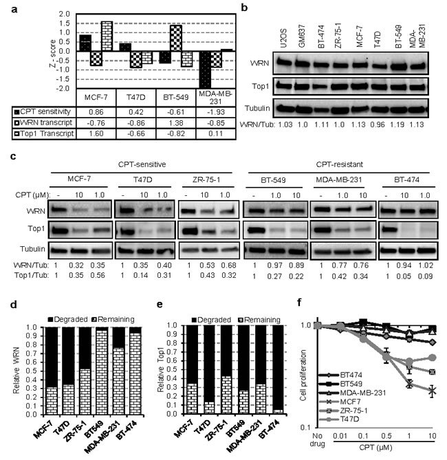 WRN degradation is associated with sensitivity of tumor cells to CPT.