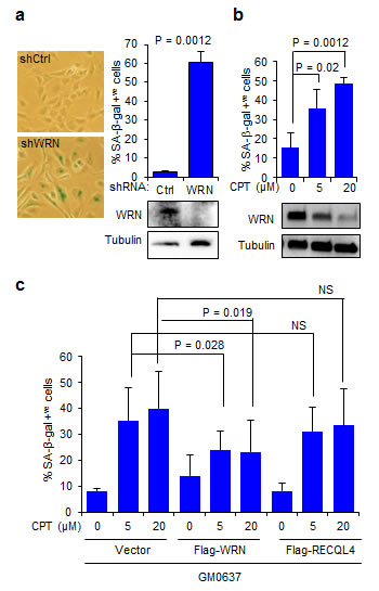 WRN attenuates CPT-induced cellular senescence.