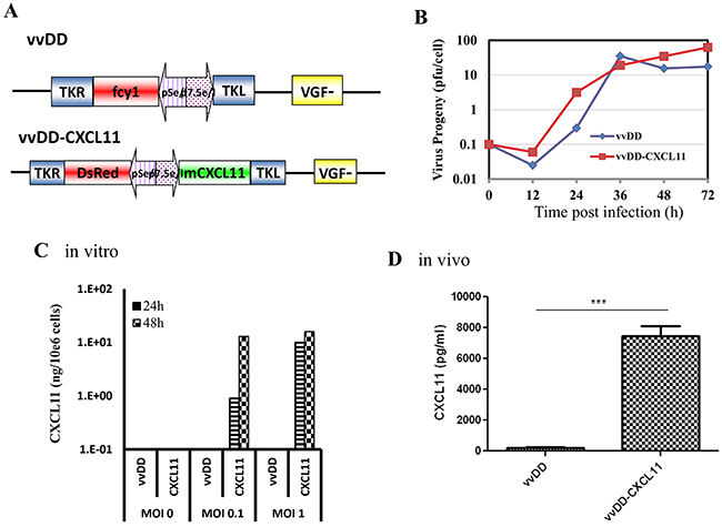 The new virus vvCXCL11 was functional as an oncolytic virus and expressed CXCL11 from infected cancer cells in vitro and in vivo.