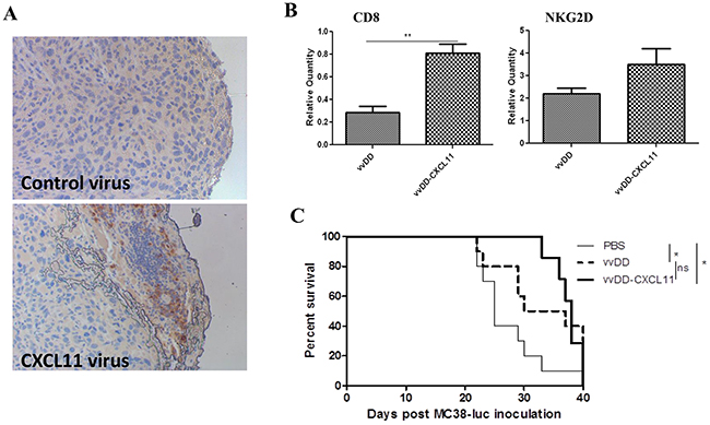 CXCL11 expressed from the virus enhances infiltration of CD8+ T Cells into the tumor tissues, but yields no significant survival benefit.