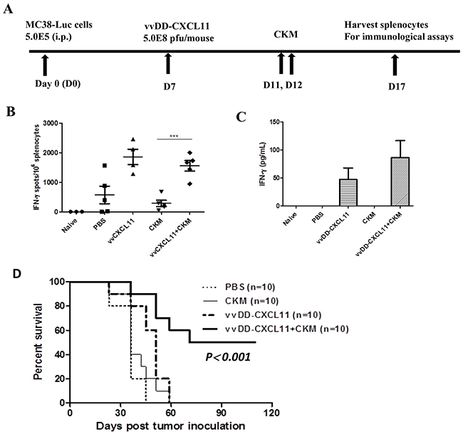 The virus vvCXCL11, but not CKM, has major effects on the systemic immunity, and dual treatment synergistically prolongs the survival of MC38-luc tumor-bearing mice.