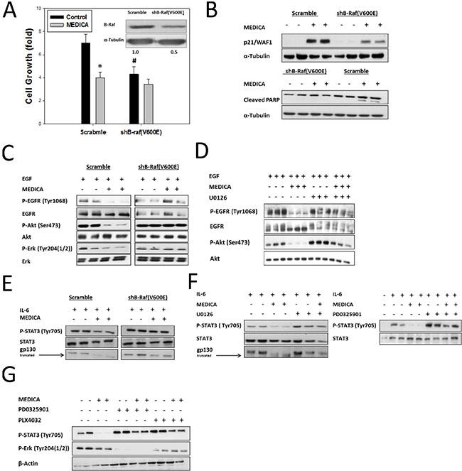 Growth suppression of B-Raf(V600E) cells by MEDICA is B-Raf(V600E)-dependent.