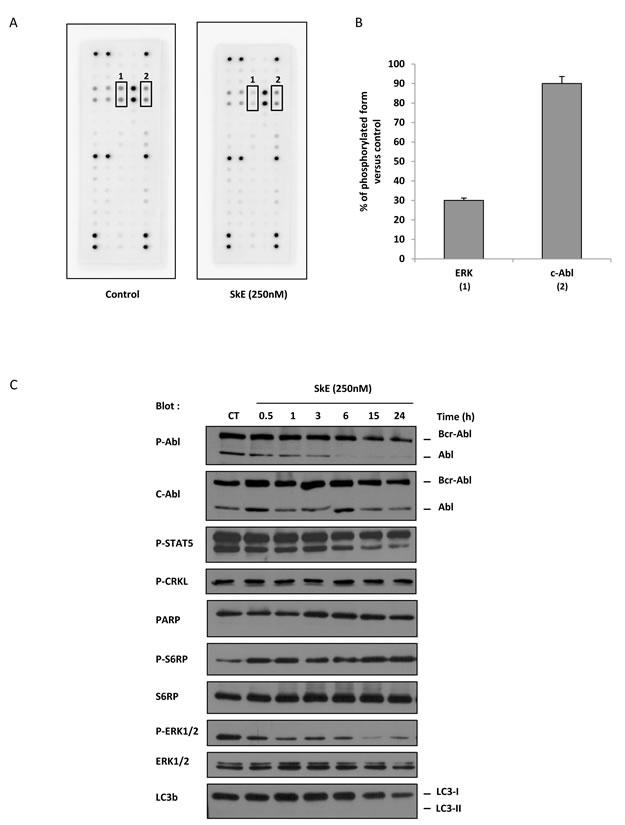 SkE treatment impairs ERK1/2 phosphorylation.