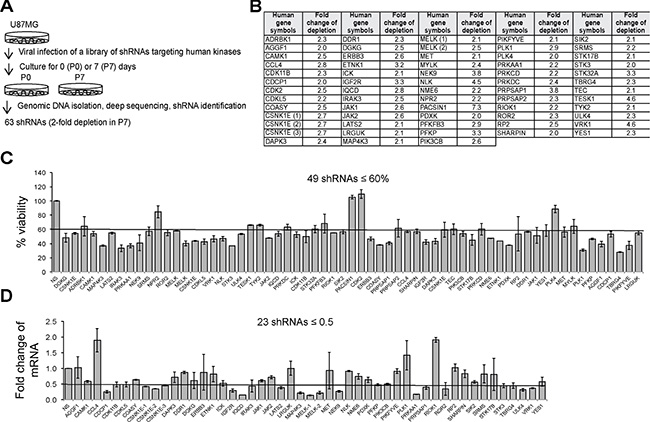 A loss-of-function screen identifies SKGs in U87MG cells.
