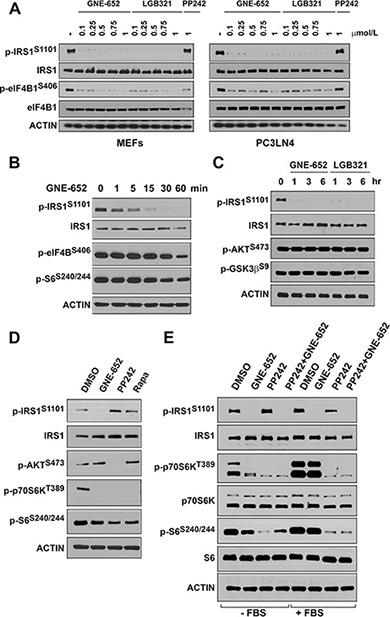 Pim kinase inhibitor blocks IRS1S1101 phosphorylation independent of mTOR activity.