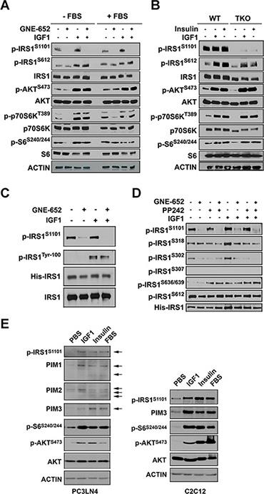 Inhibition of Pim kinases abrogates IRS1S1101 phosphorylation after insulin administration.