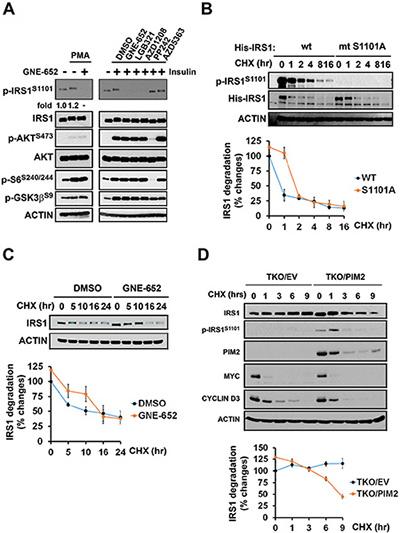 PMA stimulation of IRS1 phosphorylation is mediated by the Pim kinase.