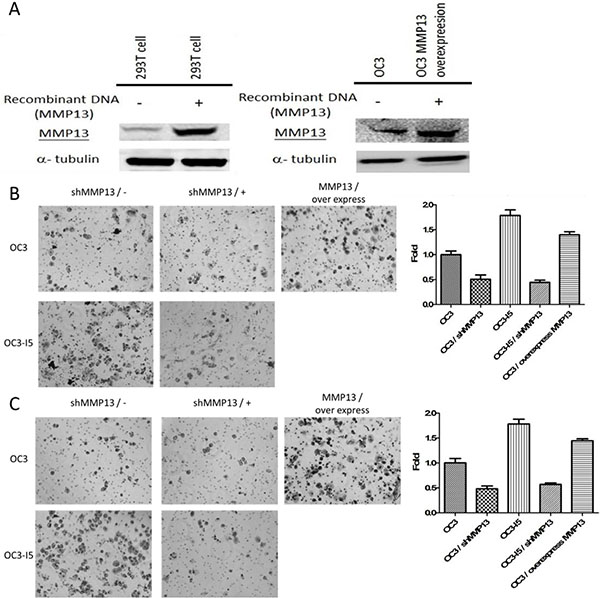 Using MMP-13 plasmid-transfected 293T cell to enhance MMP-13 expression in OC3 cancer cell line and the effect of shMMP-13 knockdown on the transwell migration and invasion ability of oral cancer cells.