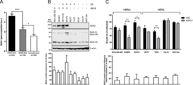 HER2 overexpression upregulates BAG-1 protein expression, while BAG-1 knockdown attenuates growth in HER2+ breast cancer cells.