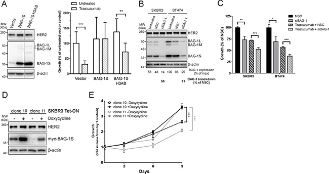 BAG-1 overexpression attenuates the growth inhibitory effect of trastuzumab while BAG-1 knockdown potentiates the effect of trastuzumab.