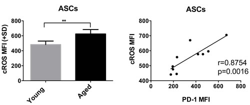 A shows cROS levels in young and aged ASCs.