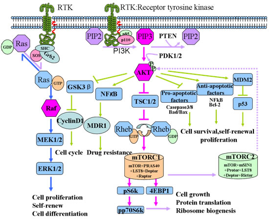 Schematic representation of the PI3K/Akt/mTOR signaling pathway.