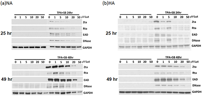 Luteolin inhibits expression of EBV lytic proteins in EBV-positive cells.