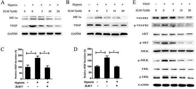 ZLM-7 down-regulated VEGF-VEGFR2 signaling pathway.