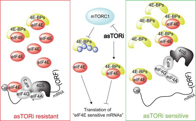 Sensitivity of tumor to asTORi as a function of eIF4E/4E-BP ratio.