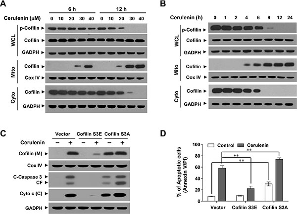 Cerulenin induces the dephosphorylation and mitochondrial translocation of cofilin.